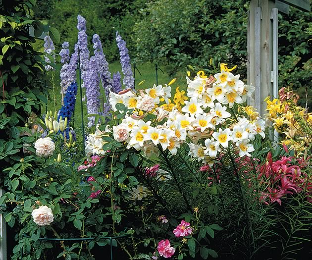 Early summer brings a carnival of colour with Bourbon Rose 'Souvenir de la Malmaison', delphiniums 'Magic Fountain' and 'Summer Skies', Lilium Regale and pink Lilium Toscana. Photo by Brock May.