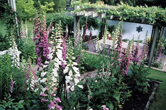 Sinclair_foxgloves