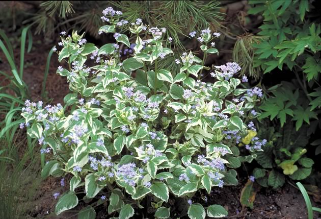 Brunnera macrophylla variegata also likes partial shade. Photo by Liz Knowles.