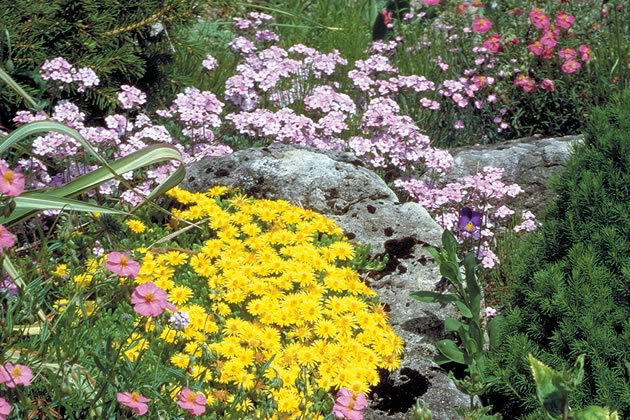 A classic combination teams pink helianthemum (right bottom) with acid yellow Delosperma nubigenum and pink Androsaci sarmentosa. Photo by Liz Knowles.