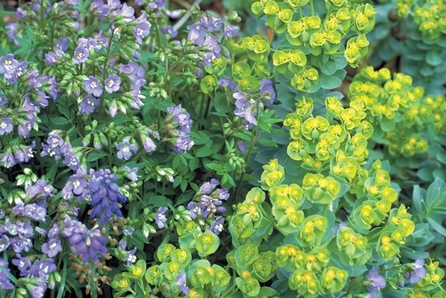 Another winning combination in the perennial border is Euphorbia myrsinites and Polemonium pulcherrimum. Photo by Liz Knowles.