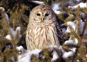 "Barred owls breed here occasionally, recognizable by their booming call: ""Who cooks for you, who cooks for you all!"" Photo by Robert McCaw."
