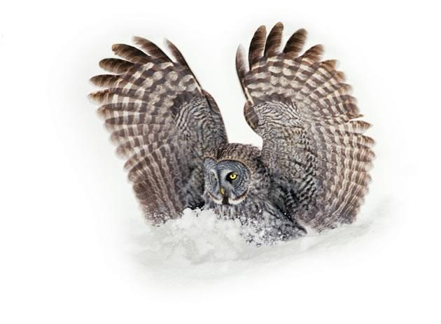 owl_GreatGray_302141_75