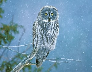 The great gray owl is a rare but magnificent visitor to the Headwaters region. Photo by Robert McCaw.
