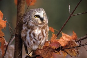 The charmingly elfin saw-whet owl is not much bigger than the prey it hunts. Photo by Robert McCaw.