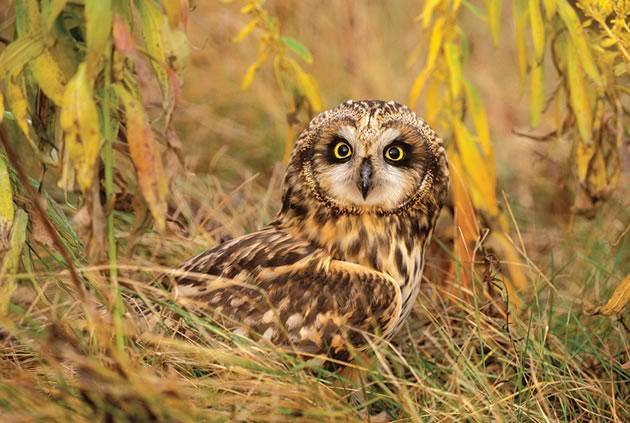 owl_ShortEared_11195_43