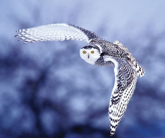 The surpassingly beautiful snowy owl comes south when food supplies are low in its arctic home. Photo by Robert McCaw.