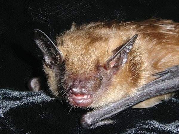 bats_BigBrown_APM_44