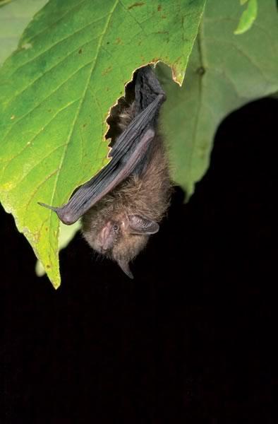 bats_EasternPipistrelle_4x6