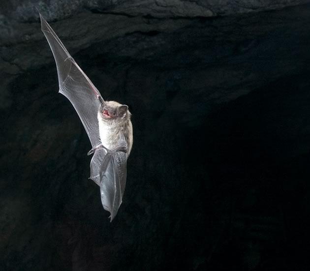 bats_LittleBrownBat_12x6