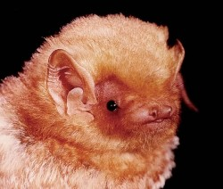 By bat standards, red bats are rather cute. Photo By Brock Fenton.