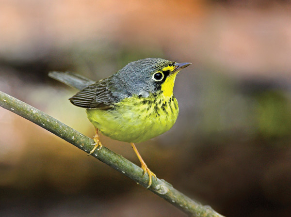 Canada Warbler. Photo by Robert McCaw.