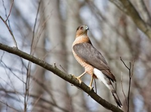 Cooper's Hawk. Photo by Don Scallen.