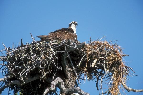 hawks_osprey_12-48_65