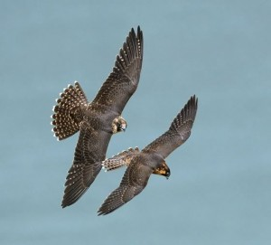 Peregrine. Photo by Robert McCaw.