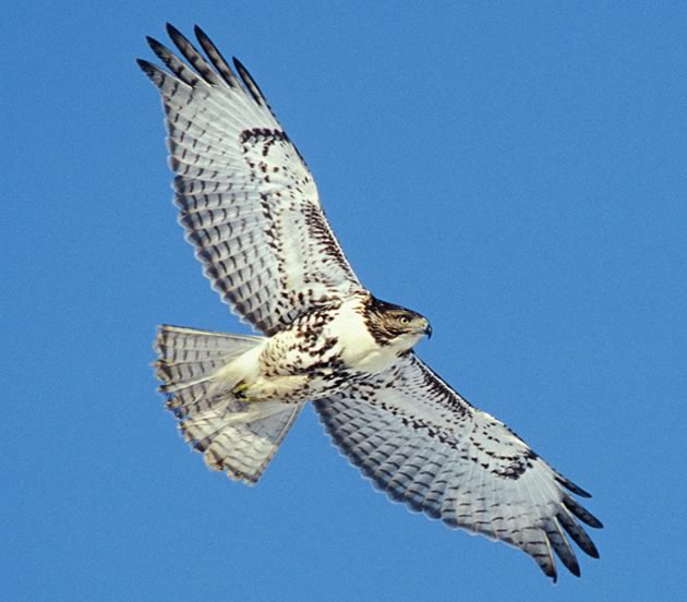 Red-tailed Hawk. Photo by Robert McCaw.