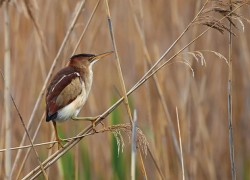 The small least bittern is rare in the Headwaters region. Photo by Robert McCaw.