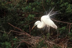 The delicate feathers of the egret were once eagerly sought by the millinery trade, a fad that led the birds to near extinction. Photo by Robert McCaw.