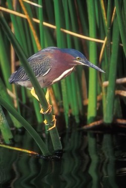 Green herons are crow-sized and, like crows, they are tool users. Photo by Robert McCaw.