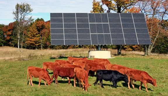 Cattle graze nonchalantly next to the solar panels on the farm of Phyllis Robinson and Morley Brown in Mulmur. Photo Bryan Davies