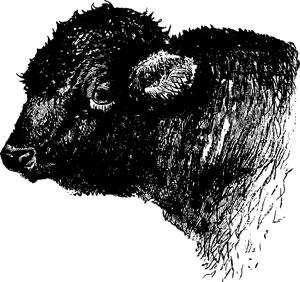 Head of Cattle