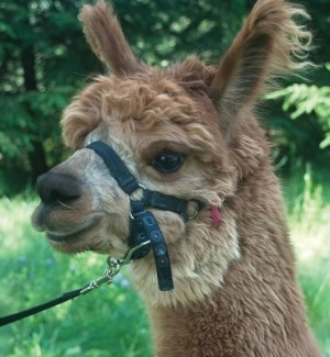 Heed Farm alpaca, Patience. Photo by Rosemary Hasner