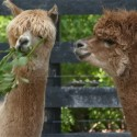 Heed Farm alpacas, Annabella and Corona. Photo by Rosemary Hasner