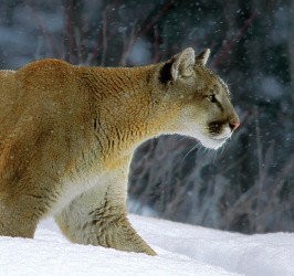 contents-3-cougar