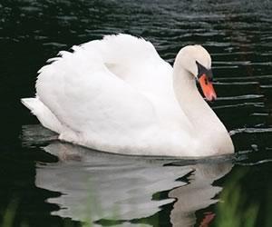 Brutus the swan