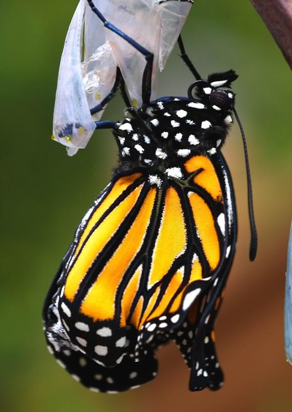 Monarch emergence