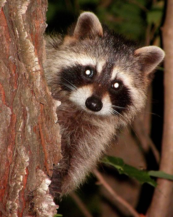 Raccoon peering around a tree trunk