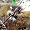 Raccoon Youngster Sleeping