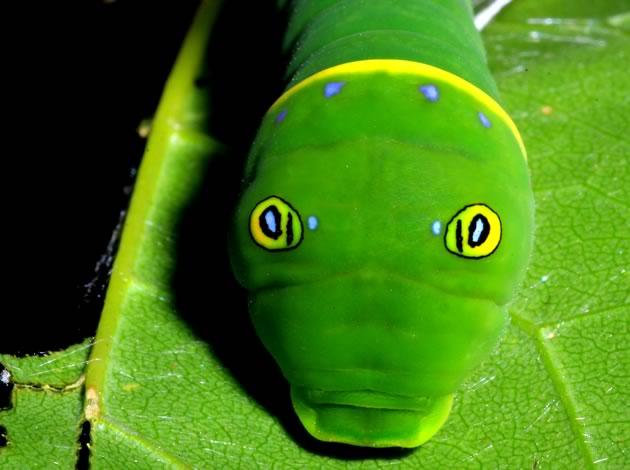 Close up of tiger swallowtail caterpillar