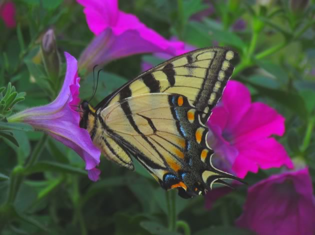 Tiger swallowtail nectaring on petunia