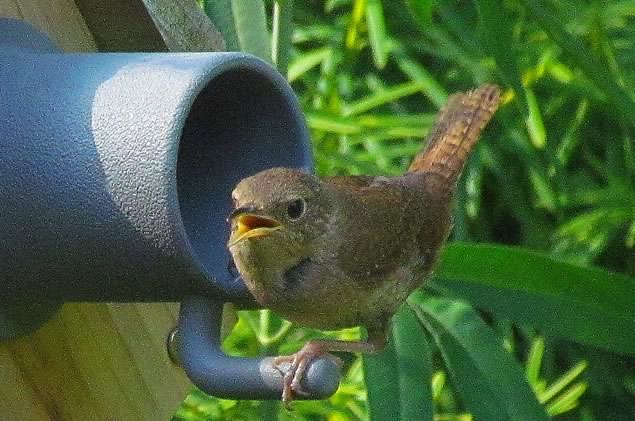 Both male and female wrens generate a potpourri of chatter - a profusion of messaging rivaling the texting of human teenagers. Photo by Don Scallen