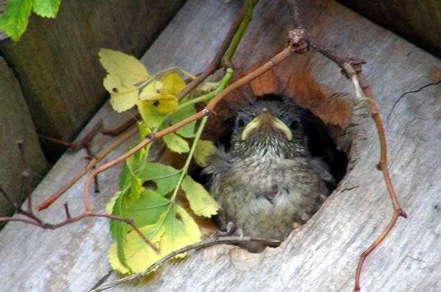 house wren chick