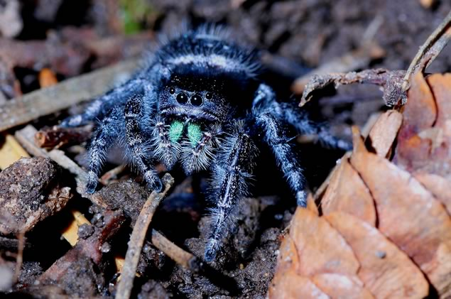 Jumping spider. Fear not – this nightmarish creature is about the size of a pea. Photo by Don Scallen