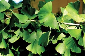The Gingko tree has been cultivated in China for thousands of years. Photo by Don Scallen