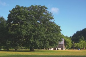 The Mansfield red oak is 14 feet around and nearly 4.5 feet in diameter. Photo by Don Scallen