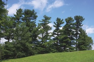 Pines sculpted by the wind were favourite subjects of the Group of Seven. Photo by Don Scallen