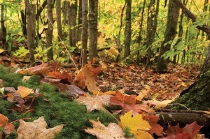 "Accumulating leaf litter creates a thick, slowly-decomposing ""duff layer""."