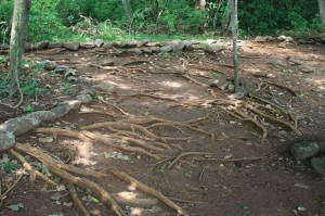 A forest floor denuded by earthworms supports less plant and animal life.