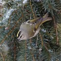 Golden Crowned Kinglet. Photo by Robert McCaw