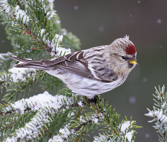 Common redpoll. Photo by Robert McCaw