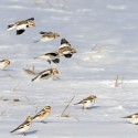 Snow Buntings. Photo by Robert McCaw