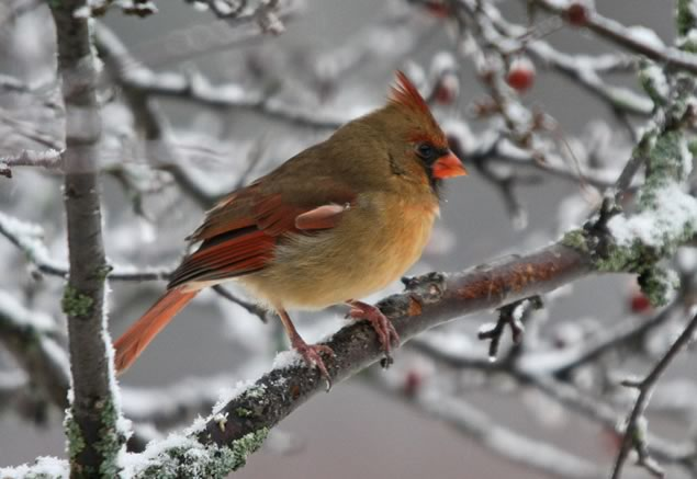 Female cardinal at the winter bird count. Photo by Peter McMullen
