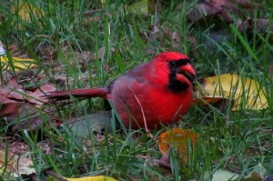 """Cardinals are """"edge"""" habitat specialists, happiest where woodlands merge with shrubby fields. Photo by Don Scallen"""