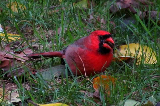 cardinal two