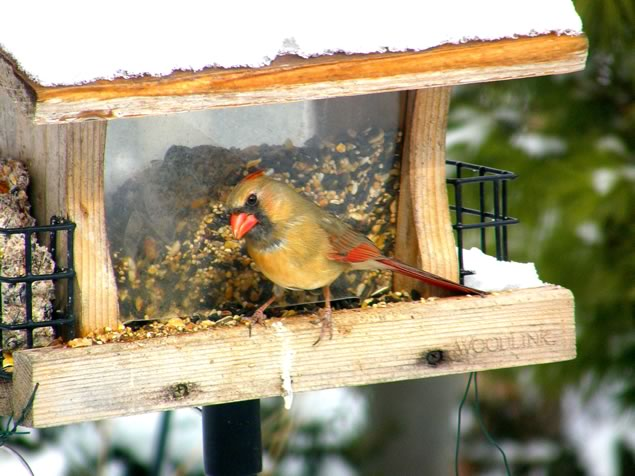 female cardinal at feeder two