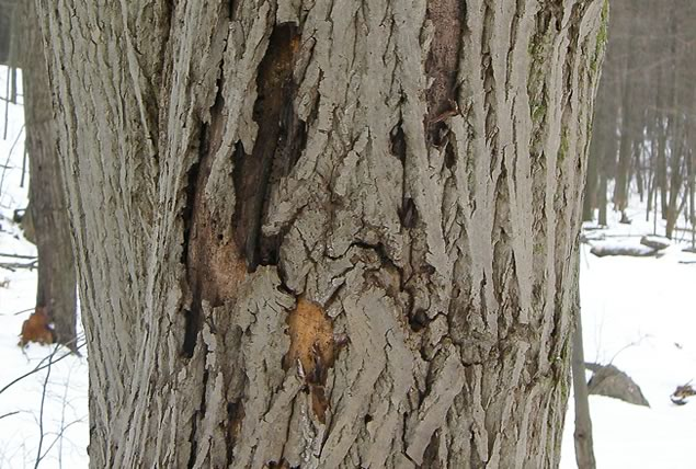 8 butternut bark damaged by cankers